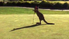 Must See: Kangaroo boxes flagsticks on Australian golf course