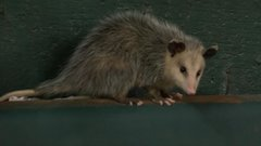 Must See: Possum takes in ball game